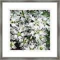Dianthus Superbus - White Framed Print