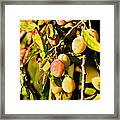 Yellow Plums Framed Print