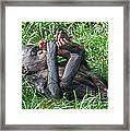 Bonobo Baby Framed Print