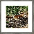 Brown Thrasher Framed Print
