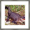 American Alligator Framed Print