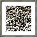 Arabian Leopard Panthera Pardus Framed Print