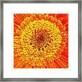 Orange Gerber Framed Print