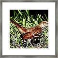 Brown Thrasher  Framed Print