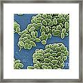Anthrax Bacteria Sem Framed Print by Science Source