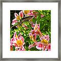 A Annas Humming Bird Framed Print