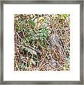 A Coopers Hawk  Framed Print