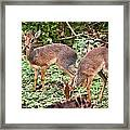 A Couple Of Dik-dik Antelopes In Tanzania. Africa Framed Print