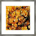 A Crowd Of Crocuses Framed Print