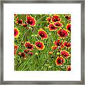 a field of Indian Blankets Framed Print
