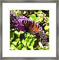 A Red Admiral On A Purple Budlier Framed Print