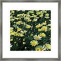 A Sea Of Yellow Daisys Framed Print