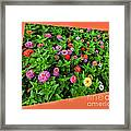 A Sea Of Zinnias 06 Framed Print
