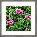 A Sea Of Zinnias 09 Framed Print