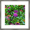 A Sea Of Zinnias 14 Framed Print