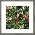 Abundant Cherries Framed Print