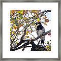Acorn Woodpecker In Tree  In Park Sierra-ca Framed Print