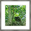 Adolescent Eagle Eating A Fish Framed Print