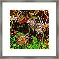 African Daisies In Aswan Botanical Garden On Plantation Island In Aswan-egypt Framed Print