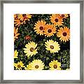 African Daisies Framed Print
