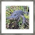 Alligator Overbite Framed Print