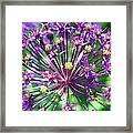 Allium Series - Close Up Framed Print by Moon Stumpp