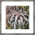 Aloe Vera Cactus Succulent Plant Indoor In Summer Framed Print