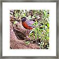 Am Robin Framed Print