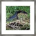American Alligator 002 Framed Print