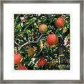 Apple Harvest - Digital Painting Framed Print