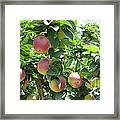Apples At Gizdich Framed Print