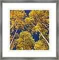 Aspen Grove In Fall Framed Print