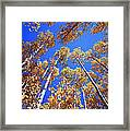 Aspen Tree Tops Framed Print