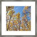 Aspen Trees In The Fall Framed Print