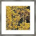 Aspens In The Fall 1 Framed Print