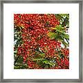 Australian Poinciana Tree Framed Print