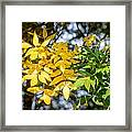 Autumn Ash Tree Leaves Under The Sun Framed Print