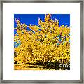Autumn Colors Gingko Tree  Framed Print