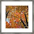 Autumn Maple Trees Framed Print