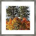 Autumn Maple With Pines Framed Print