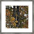 Autumn's Golden Hickory Tree Framed Print