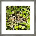 Baby Woodcock Framed Print by Thomas Pettengill