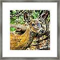 Back-tail Doe Framed Print
