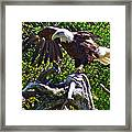 Bald Eagle With A Broken Wing In Salmonier Nature Park-nl Framed Print
