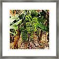 Banana Tree Framed Print