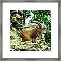 Barbary Sheep 2 Framed Print