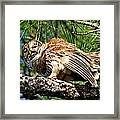 Barred Owl On Limb Framed Print