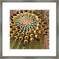 Barrel Cactus Bearing Fruit At El Mirador Rv Resort In San Carlos-sonora-mexico Framed Print