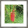Barriles Heliconia Framed Print
