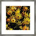 Beautiful African Daisies Framed Print